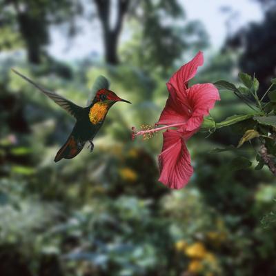 Ruby Topaz Hummingbird (Chrysolampis Mosquitus) Male Digital Composite, Trinidad