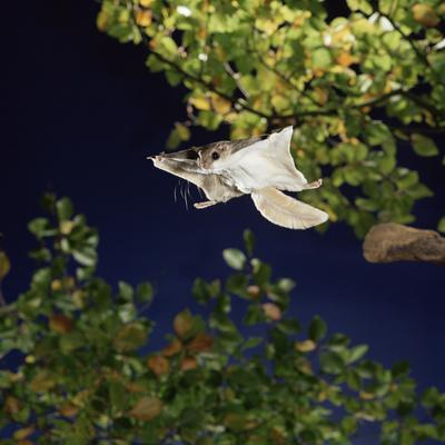 Southern Flying Squirrel (Glaucomys Volans) Taking Off, Captive