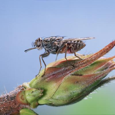 Tsetse Fly (Glossina Morsitans) Resting After Feeding, From Africa