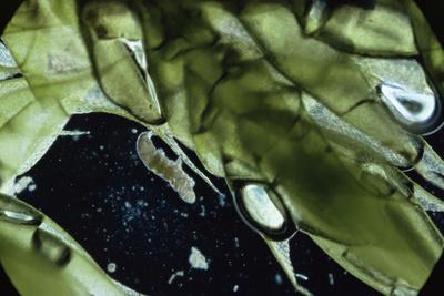 Water Bear - Tardigrade (Tardigrada Macrobiotus) On Moss, UK