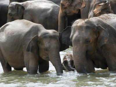 Asian Elephants Bathing in the River, Pinnawela Elephant Orphanage, Sri Lanka, Asia