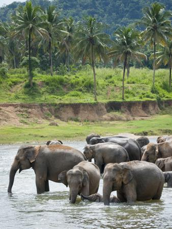 Asian Elephants Bathing in the River, Pinnawela Elephant Orphanage, Sri Lanka, Indian Ocean, Asia