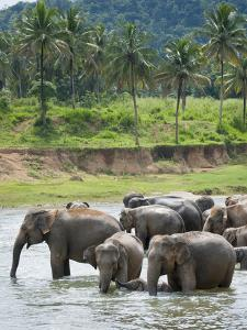 Asian Elephants Bathing in the River, Pinnawela Elephant Orphanage, Sri Lanka, Indian Ocean, Asia by Kim Walker