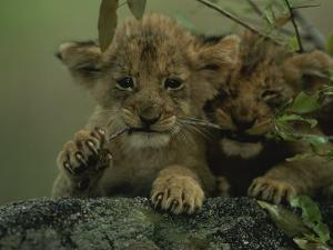 Two African Lion Cubs Chew on a Stick by Kim Wolhuter