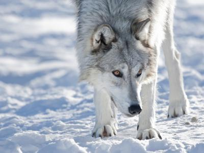Alaskan Tundra Wolf (Canis Lupus Tundrarum) in Winter, Grizzly and Wolf Discovery Center, West Yell