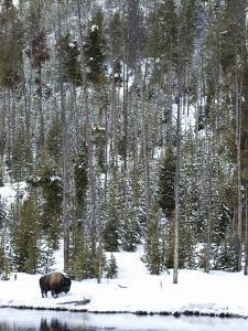 Bison (Bison Bison) Standing on Snowy Riverbank, Yellowstone National Park, UNESCO World Heritage S by Kimberly Walker