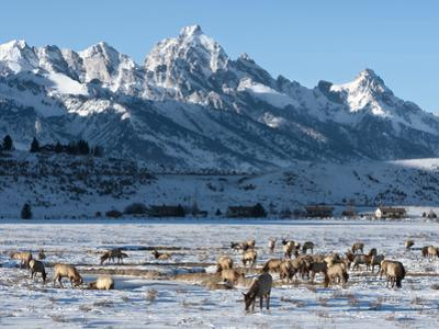 Elk (Cervus Canadensis) with Antlers, Snow-Covered Teton Mountains in the Background, Elk Wildlife