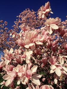 Crab Apple Tree in Bloom, Jamaica Plains, MA by Kindra Clineff