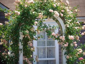 Pink Roses Growing on Trestle, Nantucket, MA by Kindra Clineff