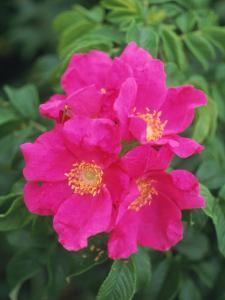 Wild Roses by Kindra Clineff