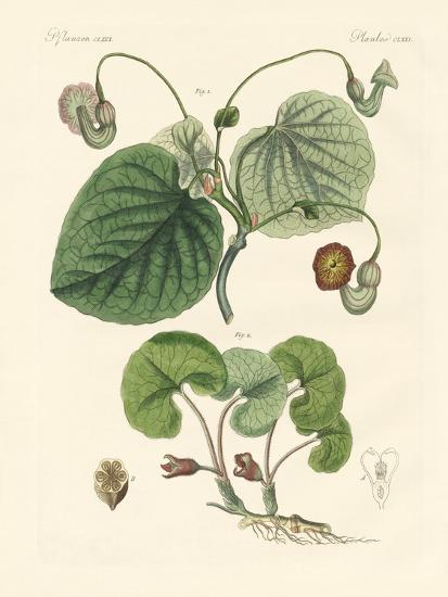 Kinds of Aristolochia Plants--Giclee Print