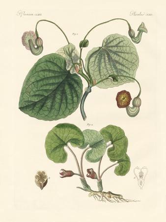 https://imgc.artprintimages.com/img/print/kinds-of-aristolochia-plants_u-l-pvq7jw0.jpg?p=0