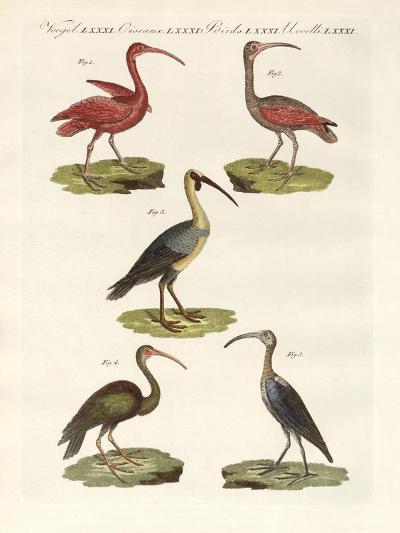 Kinds of Ibis--Giclee Print