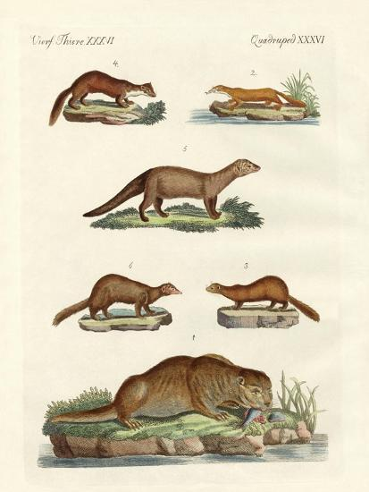 Kinds of Otters and Marten--Giclee Print