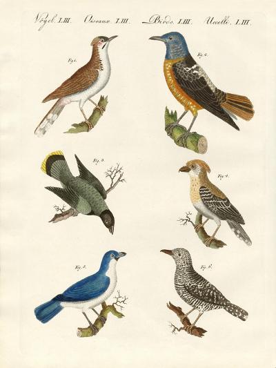 Kinds of Shrikes -- or Red-Backed Shrikes--Giclee Print