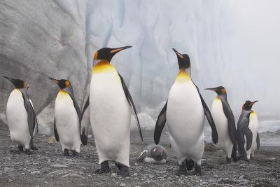 King and Gentoo Penguins on South Georgia Island--Photographic Print
