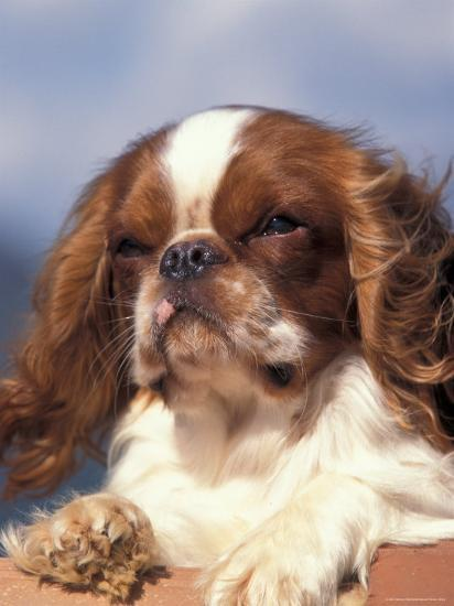 King Charles Cavalier Spaniel Adult Portrait-Adriano Bacchella-Photographic Print