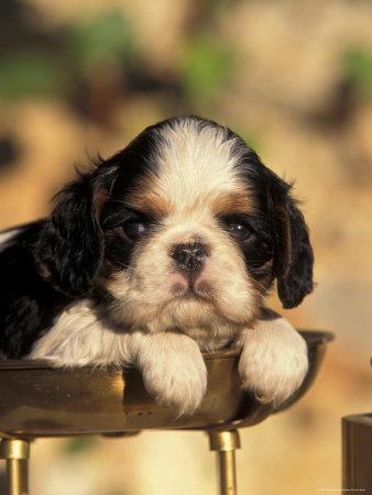 King Charles Cavalier Spaniel Puppy Portrait-Adriano Bacchella-Photographic Print