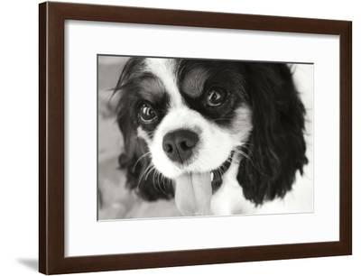 King Charles Spaniel Black and White-Karyn Millet-Framed Photographic Print