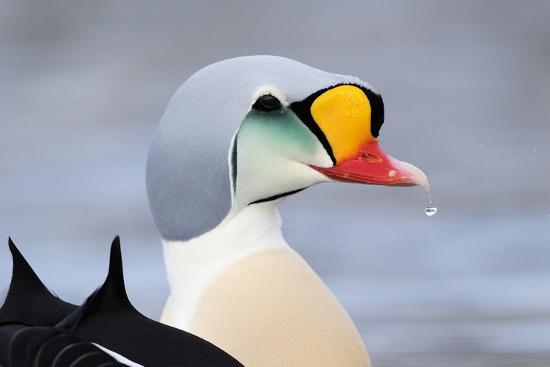 King Eider Duck (Somateria Spectabilis) Male, Batsfjord Village Harbour, Varanger Peninsula, Norway-Staffan Widstrand-Photographic Print