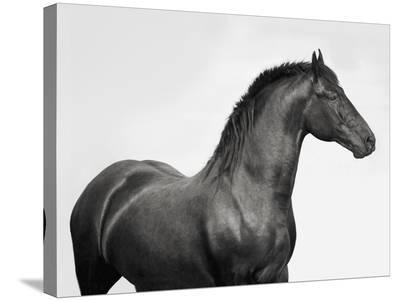 King Mamba, Stallion-Pangea Images-Stretched Canvas Print