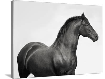 King Mamba, Stallion-Pangea Images-Stretched Canvas Print