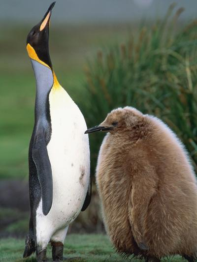 King Penguin Adult and Chick-Kevin Schafer-Photographic Print