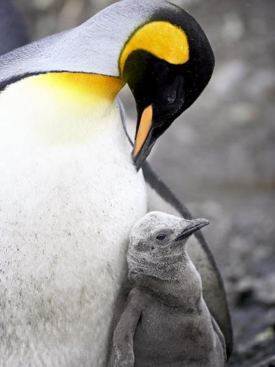 King Penguin Adult and First Season Chick, Salisbury Plain, South Georgia-James Hager-Photographic Print