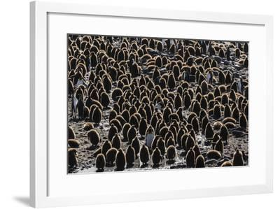 King Penguin (Aptenodytes Patagonicus) Adults with Chicks at St. Andrews Bay, South Georgia-Michael Nolan-Framed Photographic Print