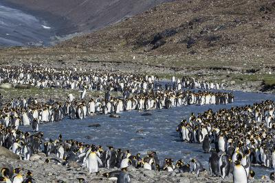 King Penguin (Aptenodytes Patagonicus) Breeding Colony at St. Andrews Bay, South Georgia-Michael Nolan-Photographic Print