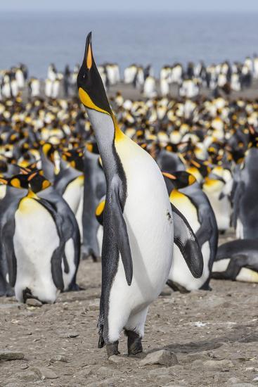King Penguin (Aptenodytes Patagonicus) Breeding Colony at St. Andrews Bay-Michael Nolan-Photographic Print