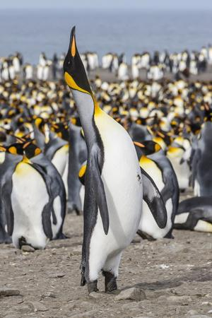 https://imgc.artprintimages.com/img/print/king-penguin-aptenodytes-patagonicus-breeding-colony-at-st-andrews-bay_u-l-pslavy0.jpg?p=0