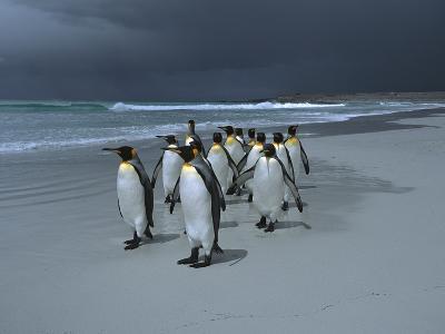 King Penguin (Aptenodytes Patagonicus) Group Walking Along Beach, Falkland Islands-Hiroya Minakuchi/Minden Pictures-Photographic Print