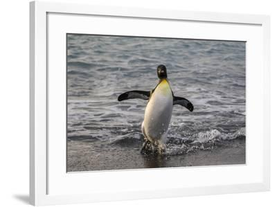 King Penguin (Aptenodytes Patagonicus) Returning from the Sea at Gold Harbour, Polar Regions-Michael Nolan-Framed Photographic Print