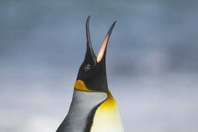 King Penguin Calling Out-DLILLC-Photographic Print
