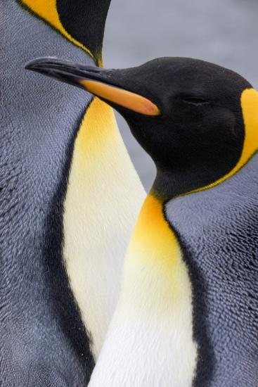 King penguin close-up showing the colorful curves of their feathers. St. Andrews Bay, South Georgia-Tom Norring-Photographic Print