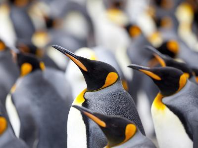 King Penguin Colony (Aptenodytes Patagonicus), Gold Harbour, South Georgia, Antarctic-Thorsten Milse-Photographic Print