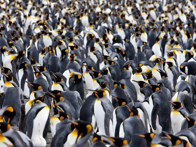 King Penguin Colony (Aptenodytes Patagonicus), Gold Harbour, South Georgia, Antarctic-Thorsten Milse-Photographic Print