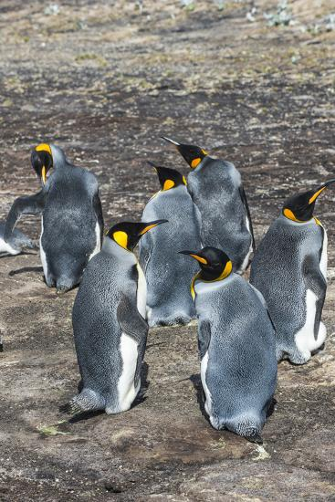 King penguin colony (Aptenodytes patagonicus), Saunders Island, Falklands, South America-Michael Runkel-Photographic Print