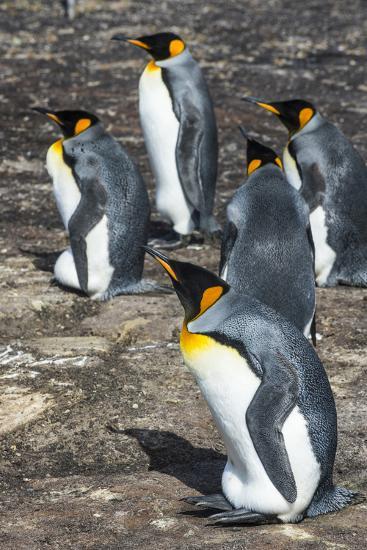 King penguin colony (Aptenodytes patagonicus), Saunders Island, Falklands, South America-Michael Runkel-Photographic Print