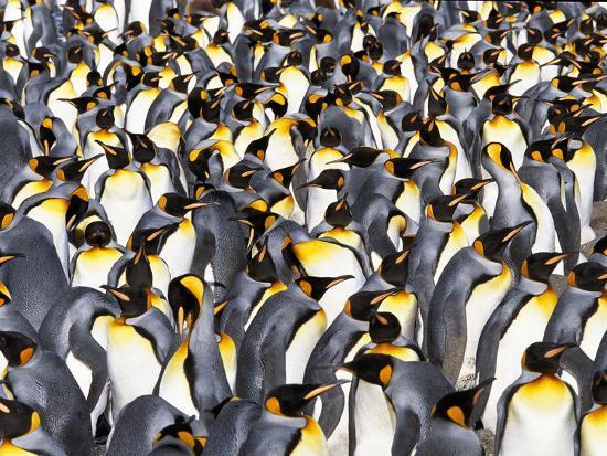 King Penguin Colony, Aptenodytes Patagonicus, South Georgia Island-Frans Lanting-Photographic Print