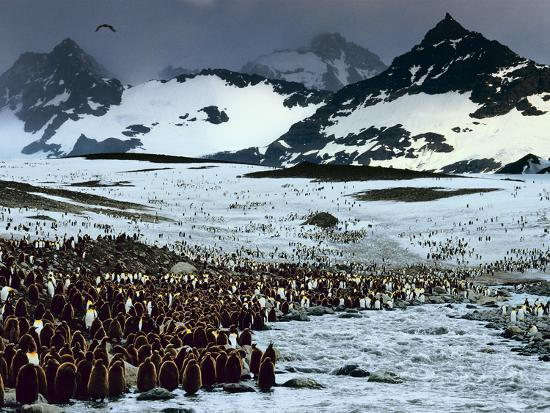 King Penguin Colony, Aptenodytes Patagonicus, South Georgia Island-Frans Lanting-Photographic Print