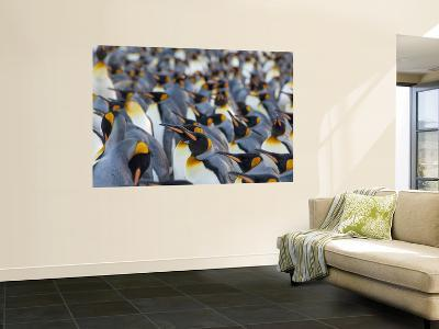 King Penguin Colony, Gold Harbor, South Georgia Island-Cindy Miller Hopkins-Wall Mural