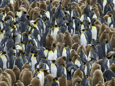 King Penguin Colony on South Georgia Island-Darrell Gulin-Photographic Print