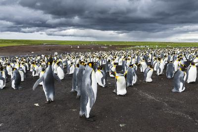King Penguin Colony on the Falkland Islands, South Atlantic-Martin Zwick-Photographic Print