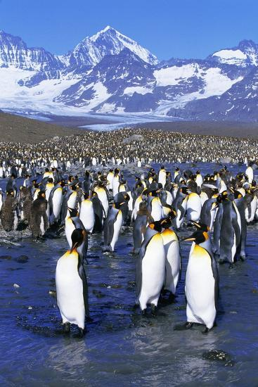 King Penguin Colony-Paul Souders-Photographic Print