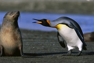 King Penguin Confronting Unconcerned Fur Seal-Paul Souders-Photographic Print