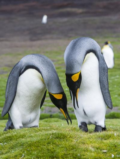 King Penguin, Falkland Islands, South Atlantic. Courtship Display-Martin Zwick-Photographic Print