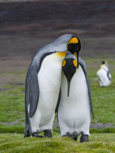 King Penguin, Falkland Islands, South Atlantic. Courtship Display-Martin Zwick-Photographic Print