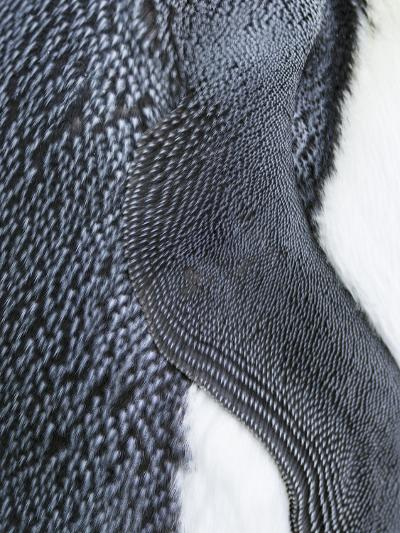King Penguin, Falkland Islands, South Atlantic. Detail of Wing of Fin-Martin Zwick-Photographic Print